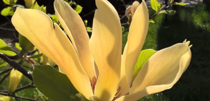 Żółta magnolia